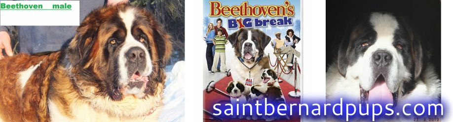 AKC Saint Bernard puppies for sale - Home